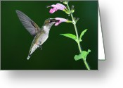 Missouri Greeting Cards - Hummingbird Feeding On Pink Salvia Greeting Card by DansPhotoArt on flickr