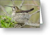 Flying Sculpture Greeting Cards - Hummingbird In A Nest Greeting Card by Clarence Alford