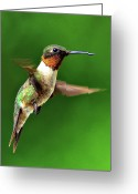 Side View  Greeting Cards - Hummingbird In Mid-air Greeting Card by Jeff R Clow