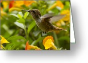 Colorful Birds Photo Greeting Cards - Hummingbird looking for food Greeting Card by Heiko Koehrer-Wagner
