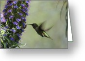 Blue Flowers Greeting Cards - Hummingbird Sharing Greeting Card by Ernie Echols