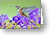 Fuchsia Greeting Cards - Hummingbird Visiting Violets Greeting Card by Laura Mountainspring