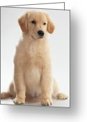Looking At Camera Greeting Cards - Humorous Photo of Golden Retriever Puppy Greeting Card by Oleksiy Maksymenko