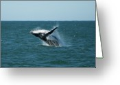 Stephens Greeting Cards - Humpback Whale Breaching Greeting Card by Peter K Leung