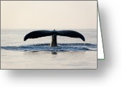 Whale Greeting Cards - Humpback Whale Fluke Greeting Card by M Sweet