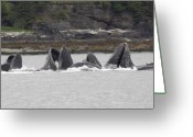 Feed Greeting Cards - Humpback Whales Bubble Net Feeding Greeting Card by Tim Grams