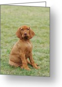 Hungarian Pointer Greeting Cards - Hungarian Vizsla dog puppy Greeting Card by Waldek Dabrowski