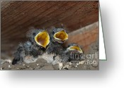 Contemporary Art Pyrography Greeting Cards - Hungry Cute Little Baby Birds  www.pictat.ro Greeting Card by Preda Bianca Angelica