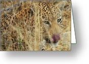 Watchful Eye Greeting Cards - Hungry Leopard Greeting Card by Tom Cheatham