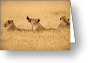 African Cats Greeting Cards - Hungry Lions Greeting Card by Adam Romanowicz