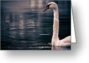 Cornwall Greeting Cards - Hungry Swan Greeting Card by Justin Albrecht