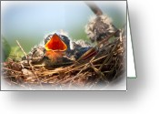 Cute Greeting Cards - Hungry Tree Swallow Fledgling In Nest Greeting Card by Bob Orsillo