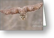 Barred Owl Greeting Cards - Hunting Barred Owl  Greeting Card by Mircea Costina Photography