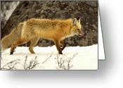 Side View Greeting Cards - Hunting Red Fox Greeting Card by Rob Daugherty - RobsWildlife.com