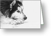 Dog Prints Drawings Greeting Cards - Husky Contemplation Greeting Card by Sheona Hamilton-Grant