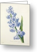 Natural Drawings Greeting Cards - Hyacinth Greeting Card by Pierre Joseph Redoute