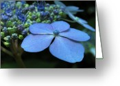 2012 Flower Calendar Greeting Cards - Hydrangea Greeting Card by Juergen Roth