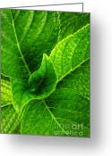 Texture Floral Greeting Cards - Hydrangea Leaves Greeting Card by Carlos Caetano