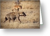 Safari Park Greeting Cards - Hyena Greeting Card by Gualtiero Boffi