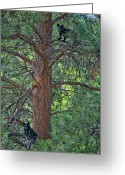 Black Bear Cubs Greeting Cards - I am the King of the Castle Greeting Card by Paul W Sharpe Aka Wizard of Wonders