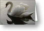 Canada Swan Greeting Cards - I Am Too Sexy For My Feathers Greeting Card by Bob Christopher