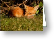 Vulpes Greeting Cards - I can see you Greeting Card by Mircea Costina Photography