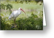 Cypress Tree Greeting Cards - Ibis in Cypress Greeting Card by Patrick M Lynch