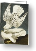 Falcon Drawings Greeting Cards - Iceland Or Jer Falcon Greeting Card by John James Audubon