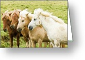 Four Animals Greeting Cards - Iceland Ponies Greeting Card by David Blaikie