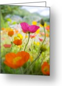 Decorativ Photo Greeting Cards - Iceland Poppies Greeting Card by Silke Magino