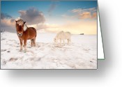 Two Animals Greeting Cards - Icelandic Horses On Winter Day Greeting Card by Ingólfur Bjargmundsson
