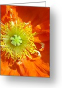 In Focus Greeting Cards - Icelandic Poppy Greeting Card by John Kain