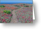 "Tickseed Greeting Cards - ""iceplant And Coreopsis On Anacapa Island, Channel Islands, California"" Greeting Card by VisionsofAmerica/Joe Sohm"