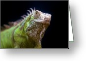 Iguana Greeting Cards - Iguana Joven (young Iguana) Greeting Card by Manuel M. Almeida