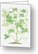 Color Bending Greeting Cards - Illustration Of Bryonia Dioica (white Bryony), Climbing Vine Greeting Card by Barbara Walker