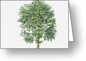 Durian Greeting Cards - Illustration Of Durio Zibethinus (durian) Evergreen Tree Greeting Card by Sue Oldfield