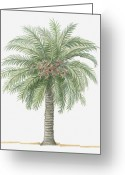 Palm Leaf Digital Art Greeting Cards - Illustration Of Phoenix Canariensis (canary Island Date Palm) Bearing Fruit Amid Green Palm Leaves Greeting Card by Dorling Kindersley