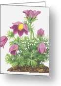 Pasqueflower Greeting Cards - Illustration Of Pulsatilla Vulgaris (pasque Flower), Pink Flowers Greeting Card by Ann Winterbotham