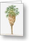 Palm Leaf Digital Art Greeting Cards - Illustration Of Washingtonia Filifera (california Fan Palm) Bearing Leaf Fronds Atop Brown Skirt Of Dead Fronds Greeting Card by Dorling Kindersley