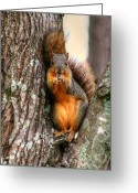 Squirrel Photographs Greeting Cards - Im Offering You This Nut Greeting Card by Ester  Rogers