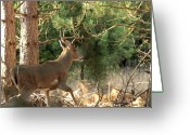 Whitetail Deer Greeting Cards - Im Outa Here Greeting Card by Thomas Young