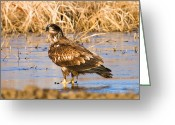 Reelfoot Lake Digital Art Greeting Cards - Immature Bald Eagle Feeding Greeting Card by J Larry Walker