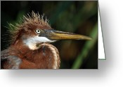 Colored Photographs Greeting Cards - Immature Louisiana Hair Day Greeting Card by Skip Willits