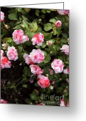 Impatiens Flowers Greeting Cards - Impatiens Flowers  Greeting Card by Erin Paul Donovan