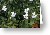 Impatiens Flowers Greeting Cards - Impatiens Ugandensis Greeting Card by Adrian Thomas