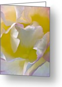 Roses Petals Greeting Cards - Impressions From Heaven I Greeting Card by Artecco Fine Art Photography - Photograph by Nadja Drieling