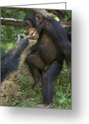 Senegal Greeting Cards - In A Gesture Of Reassurance, A Chimp Greeting Card by Frans Lanting