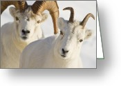 Horns Greeting Cards - In Hot Pursuit Greeting Card by Tim Grams