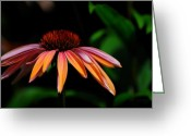 Echinacea Greeting Cards - In The Golden Hour Greeting Card by Lois Bryan