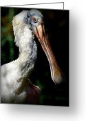 Roseate Spoonbill Greeting Cards - In The Shadows Greeting Card by Fraida Gutovich